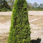 Arborvitae, Emerald