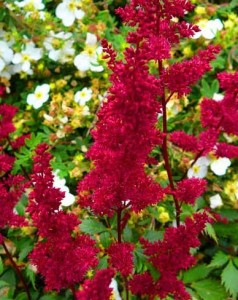 Astilbe, Fanal Red