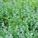 Catmint, Walkers Low