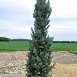 Spruce, Columnar Blue