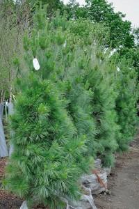 Pine, Columnar White