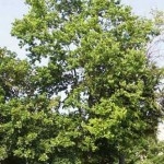 Common Hackberry