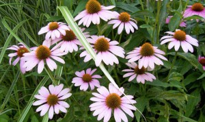 Coneflower, Purple Magnus
