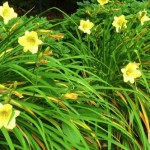 Daylily, Happy Returns