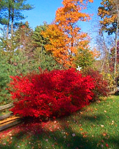 Dwarf Burning Bush Landscape By Design
