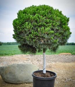 Pine, Dwarf Austrian Brepo  STD