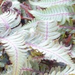 Fern, Japanese Painted