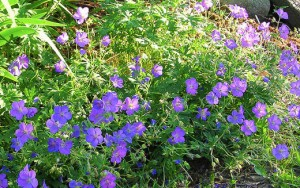 Geranium, Johnson Blue