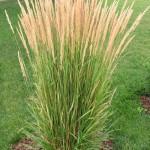 Grass, Karl Foerster