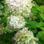 Hydrangea, Limelight Green