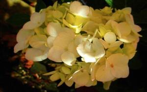 Hydrangea, Tardiva Tree