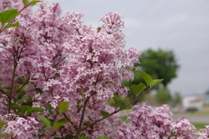 Lilac, Dwarf Korean