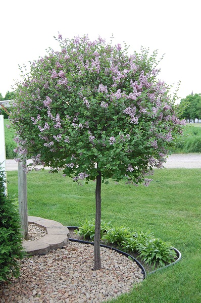 Lilac dwarf korean patio tree landscape by design for Small dwarf ornamental trees