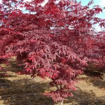 Maple, Japanese Bloodgood
