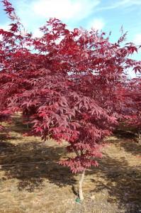Maple, Japanese Bloodgood