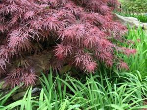 Maple, Japanese Crimson Queen