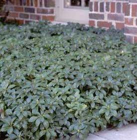Packysandra, Green Carpet
