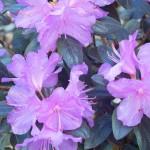 Rhododendron, Pjm