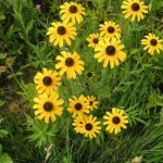 Rudbeckia Blackeyed Susan