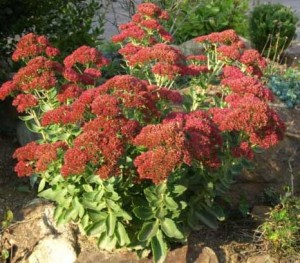 Sedum, Autumn Joy