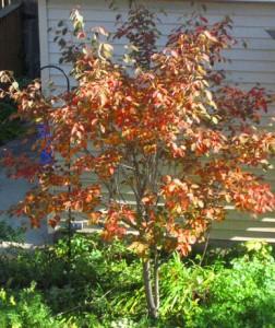 Serviceberry, Autumn Brilliance