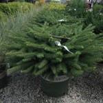 Spruce, Birdsnest