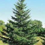 Spruce, Black Hills