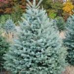 Spruce, Colorado