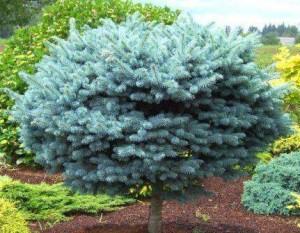 Spruce, Globe Spruce