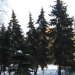 Spruce, Serbian