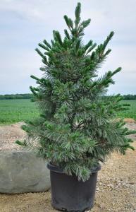 Pine, Vanderwolf