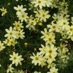 Coreopsis, Moonbeam